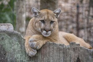 using GPS to reveal secret lives of mountain lions