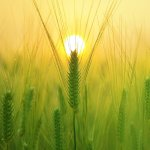 Wheat in front of a sunset.